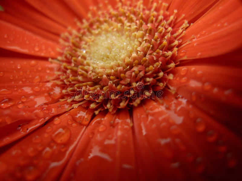 Orange Flower Stamen. Macro shot of the stamen of a deep orange flower royalty free stock photo