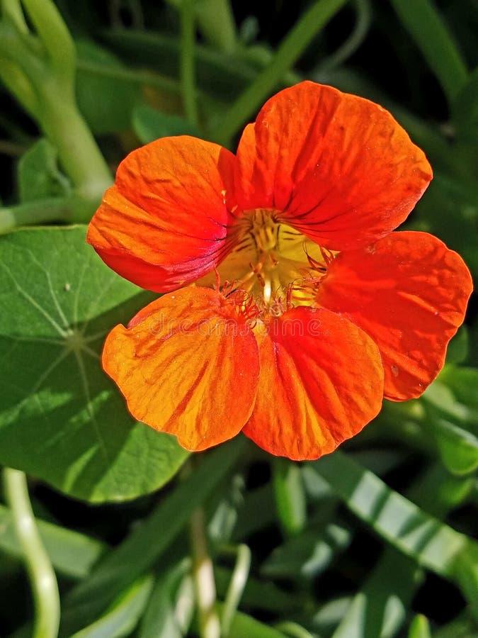Orange flower up close. Up close view of orange flower 4k royalty free stock image