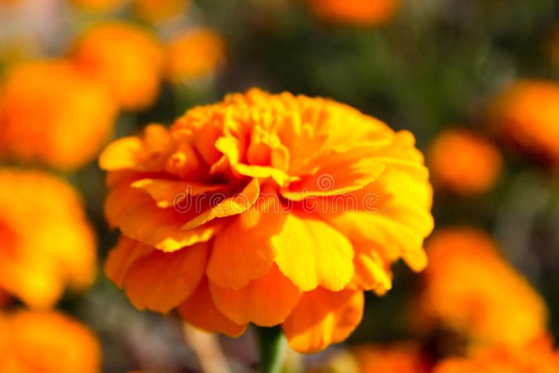 Orange flower in the bright sun royalty free stock images