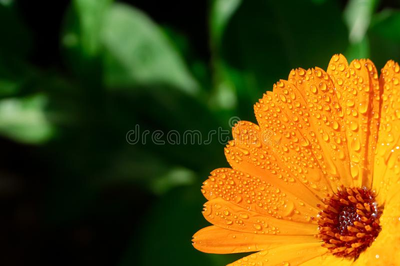 Orange flower with water drops. Orange Pot marigold or English marigold Calendula officinalis flower on leaf background royalty free stock photography