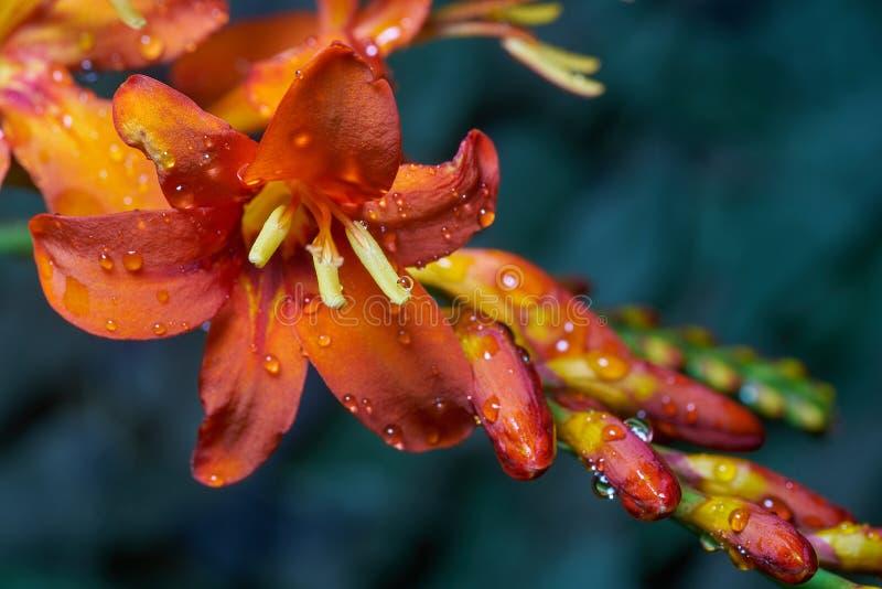 Orange Flowering Crocosmia med rå droplets arkivbilder