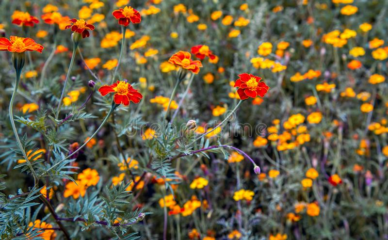 Orange flowering French Marigold plant from close royalty free stock photo