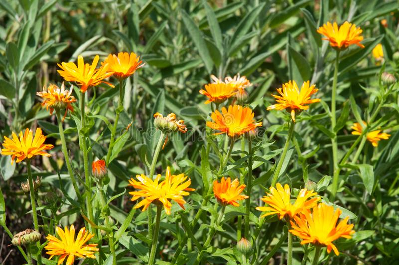 Orange flowering pot marigolds in summer garden royalty free stock photography