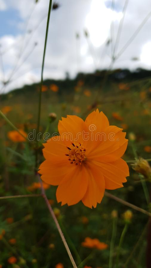 Orange Flowers obraz stock
