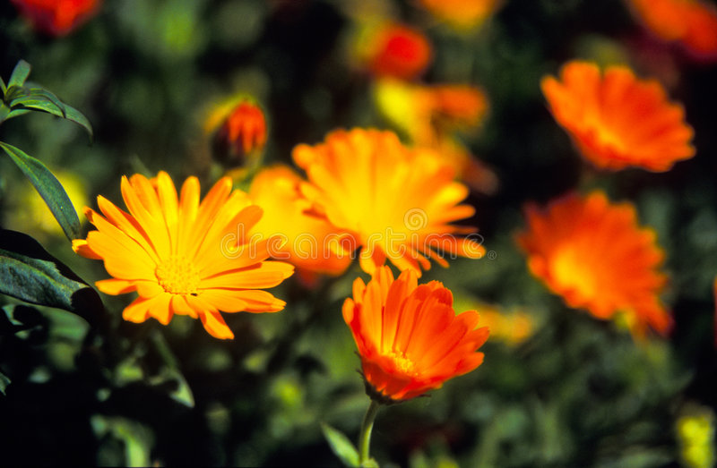 Download Orange flowers stock photo. Image of garden, summer, flowers - 4783708