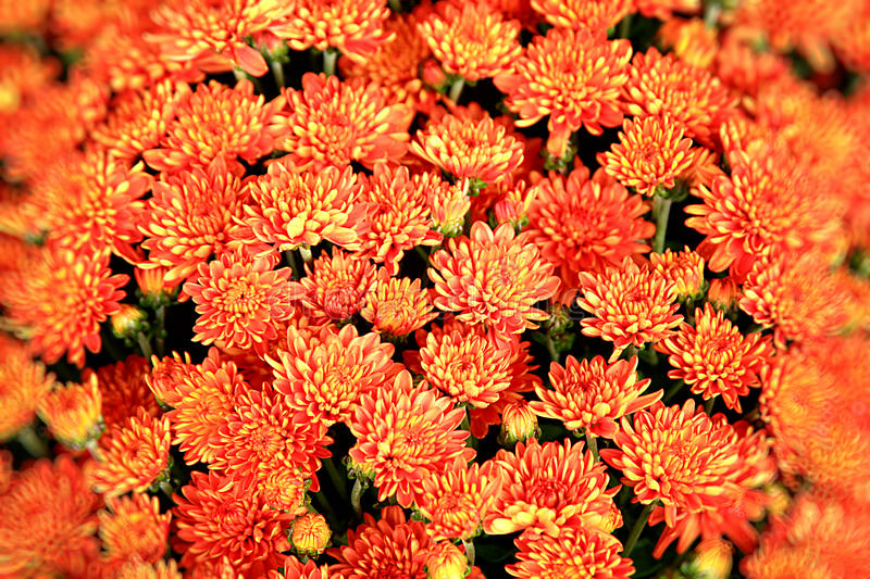 Orange Chrysanthemum flowers background stock photo