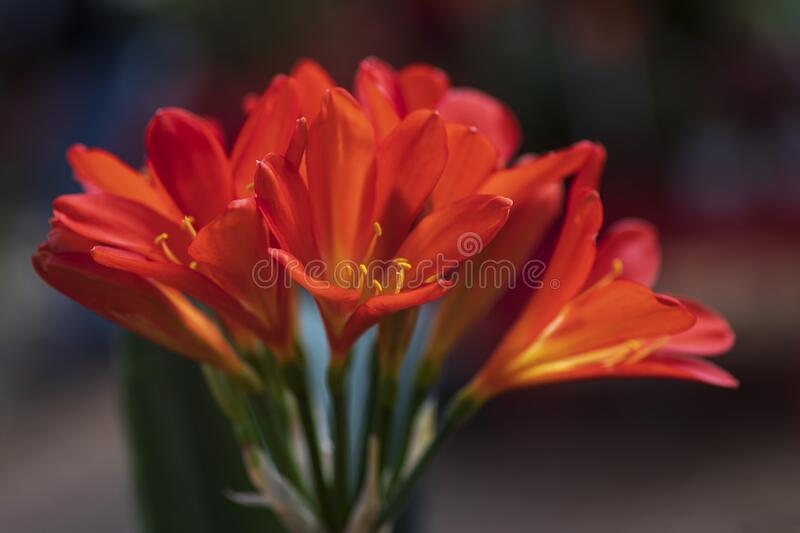 Orange flowers of a blooming flower clivia miniata stock images