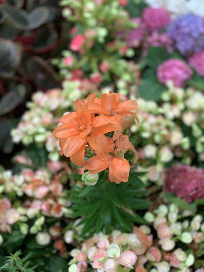 Orange flowers bloom garden  closeup floral green. Orange flowers  blossoming in the garden closeup royalty free stock photo