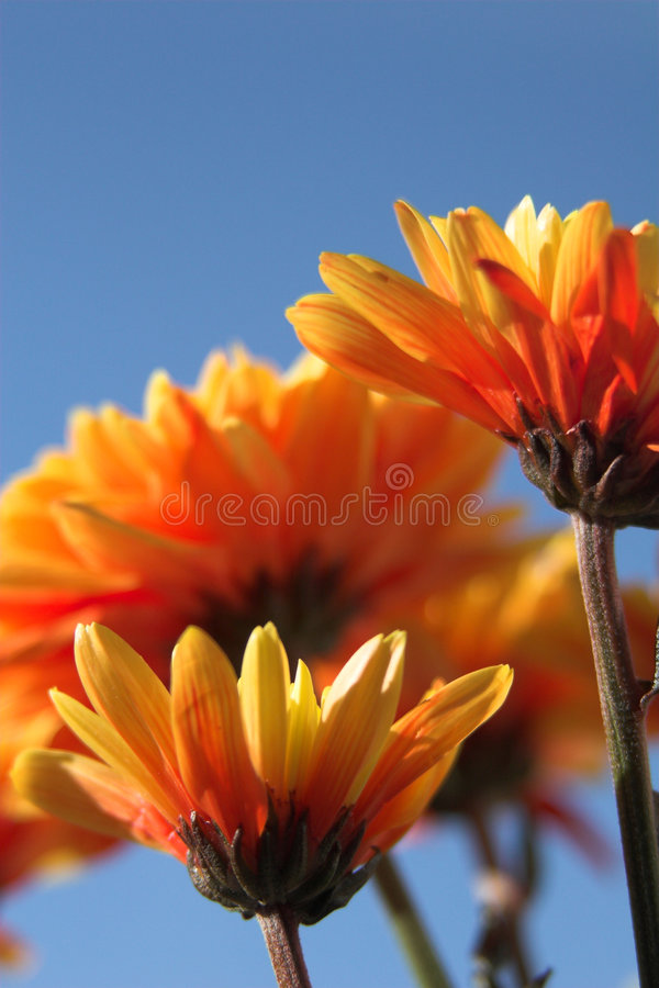 Orange flowers & blue sky stock photography