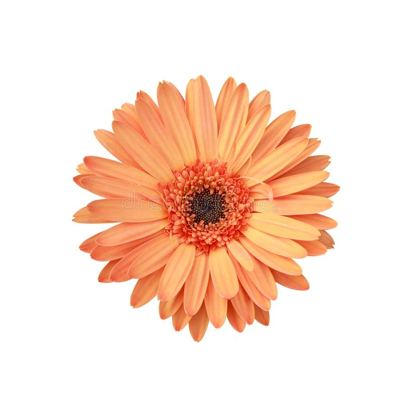Orange flowers , clipping path included royalty free stock photography