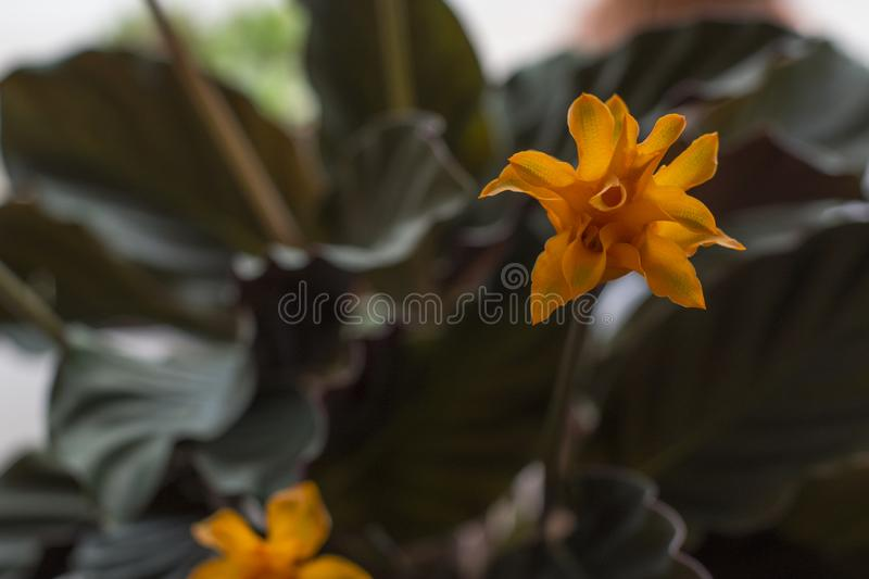 The orange flowers and deep green leaves of blooming Calathea Crocata. In the daylight royalty free stock photo