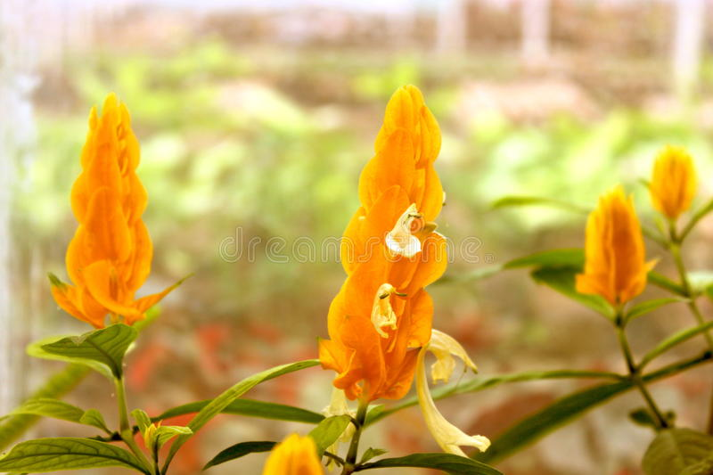 Yellow shrimp plant