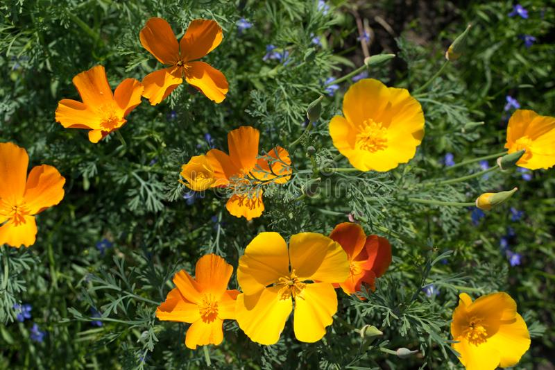 Orange flowers of eschscholzia californica or california poppy royalty free stock photo
