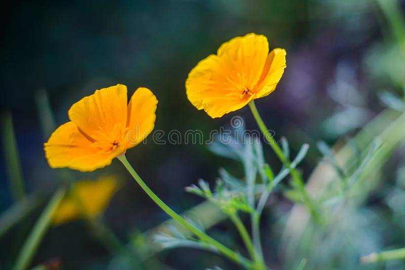 Orange flowers eshsholtsiya in the garden stock photo