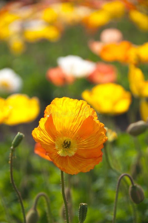 Orange flowers in field stock image