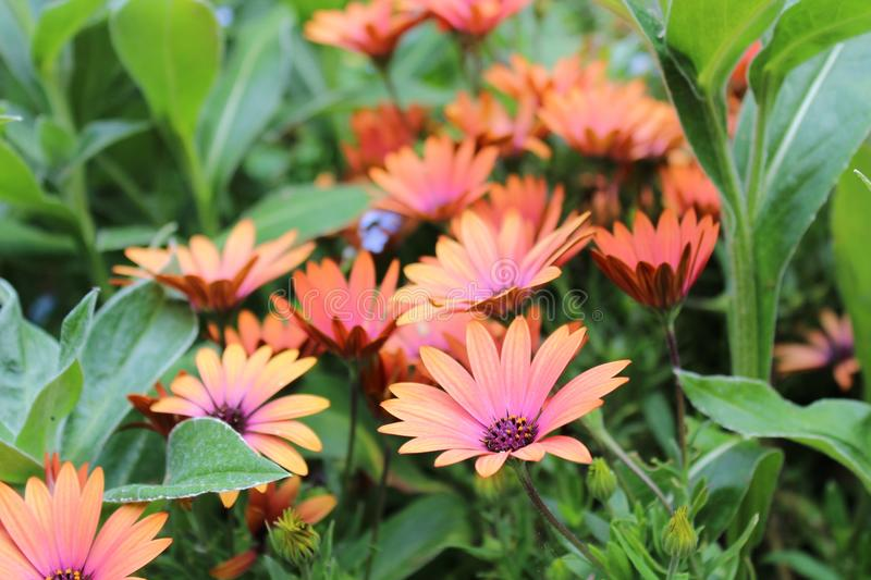 Orange flowers in foliage royalty free stock images