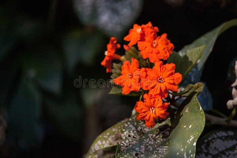 Orange flowers on a geiger tree Cordia sebestena. In Naples, Florida royalty free stock photos