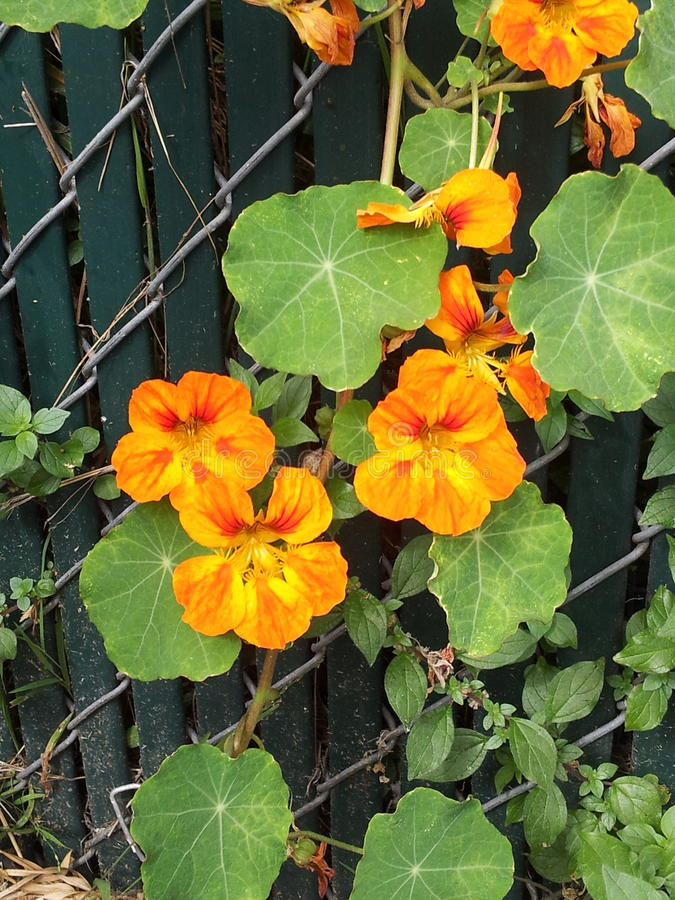Orange flowers growing on a fence stock photography