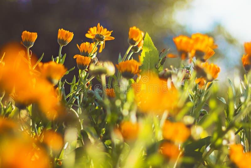 Orange Flowers Marigold in the garden royalty free stock image