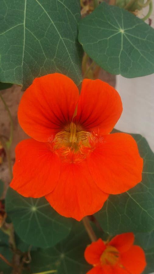 Orange flowers of my garden stock photo
