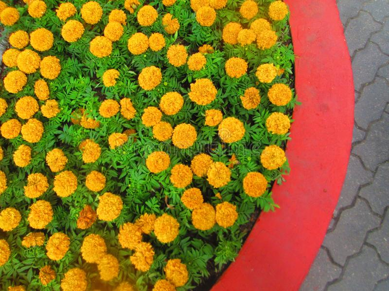 Orange flowers . royalty free stock image