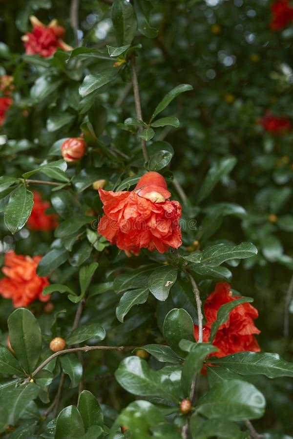 Punica granatum in bloom. Orange flowers of Punica granatum royalty free stock photos