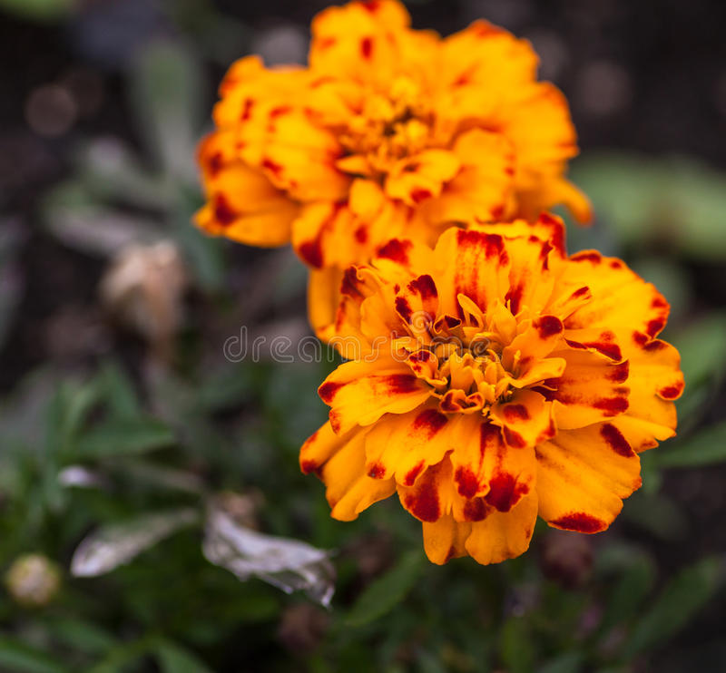 Orange flowers. Selective focus with shallow depth of field. royalty free stock image