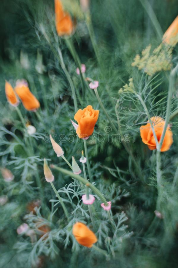 Orange flowers royalty free stock images