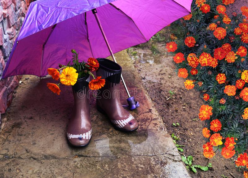 Orange flowers tagetes in rubber boots under a purple umbrella stock photo