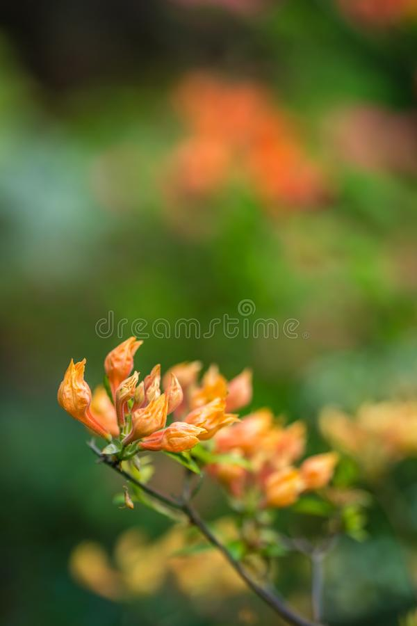 Orange flowers on tree branches royalty free stock photos