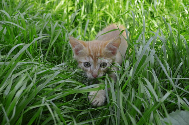 Orange fluffy kitten hiding in the green grass on a summer day royalty free stock photos