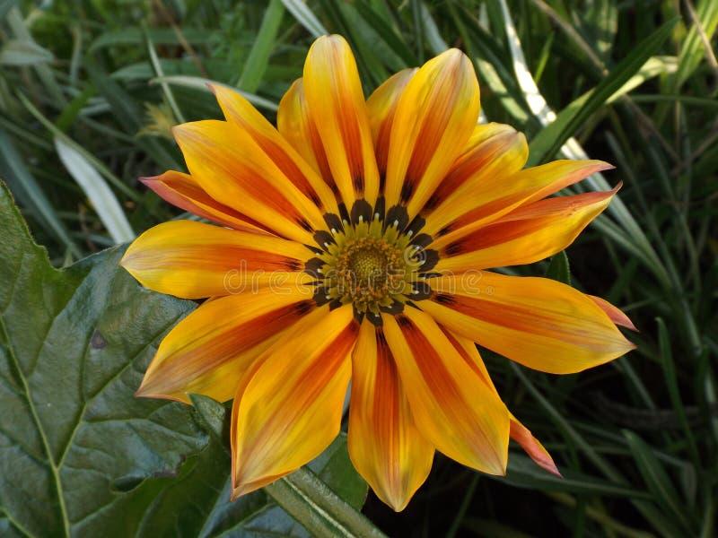 Orange Frühlings-Blume stockfoto