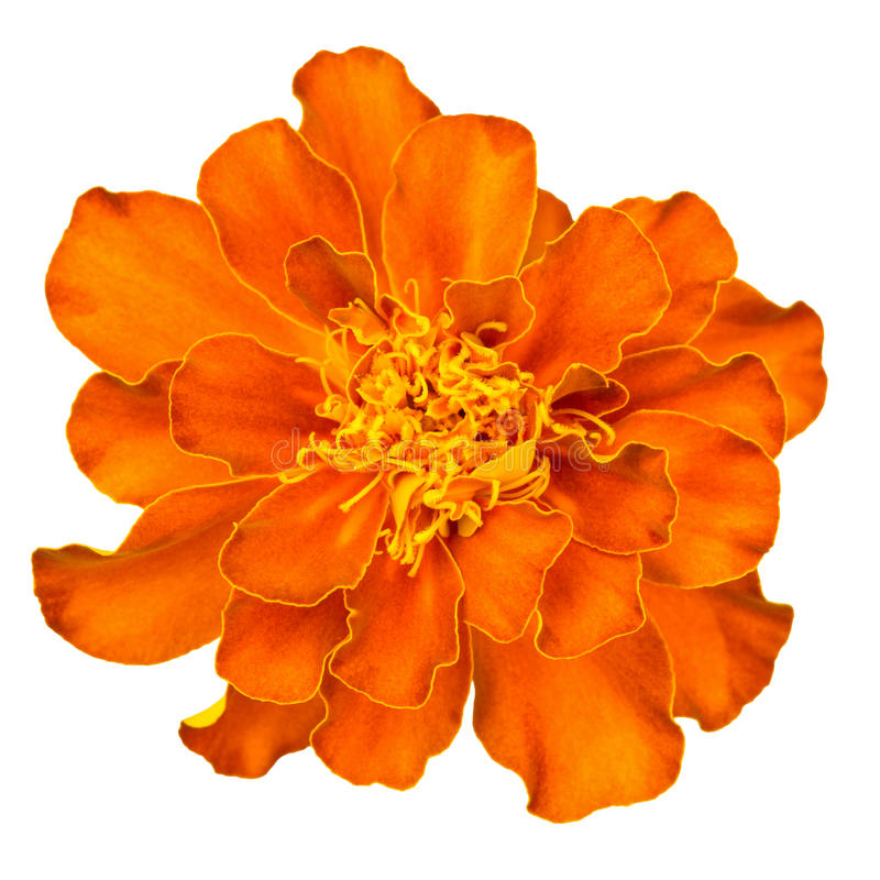 Orange french marigold. Close-up of orange french marigold, isolated on white. Tagetes petula royalty free stock photography