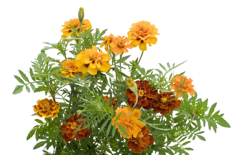 Orange French Marigold isolated royalty free stock photos