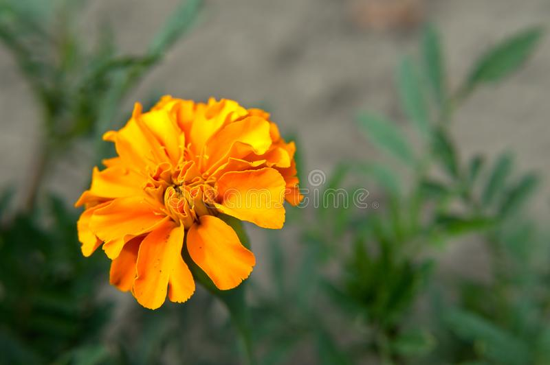 Orange french marigold royalty free stock photos