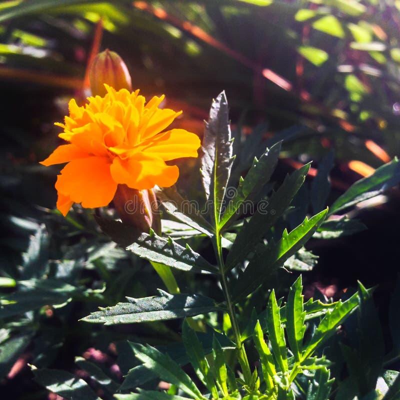 Orange French Marigold Free Public Domain Cc0 Image