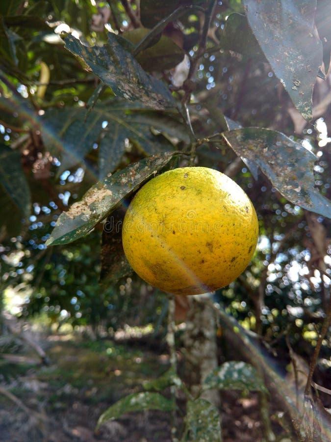 Download Orange Frucht stockfoto. Bild von frucht, wild, tageslicht - 90233464