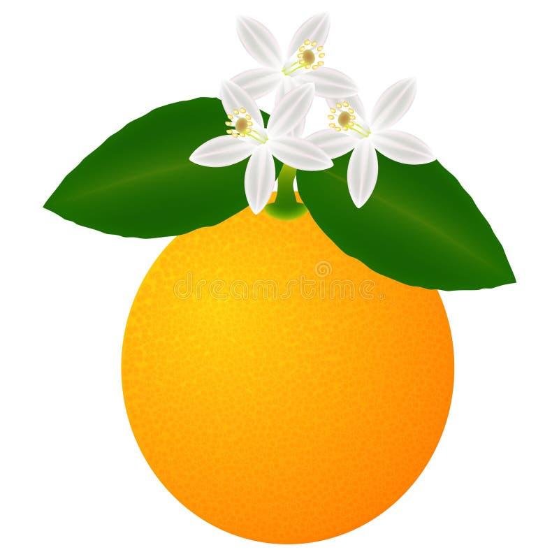 Orange Frucht mit den Blättern und Blüte, lokalisiert auf weißem Hintergrund stock abbildung