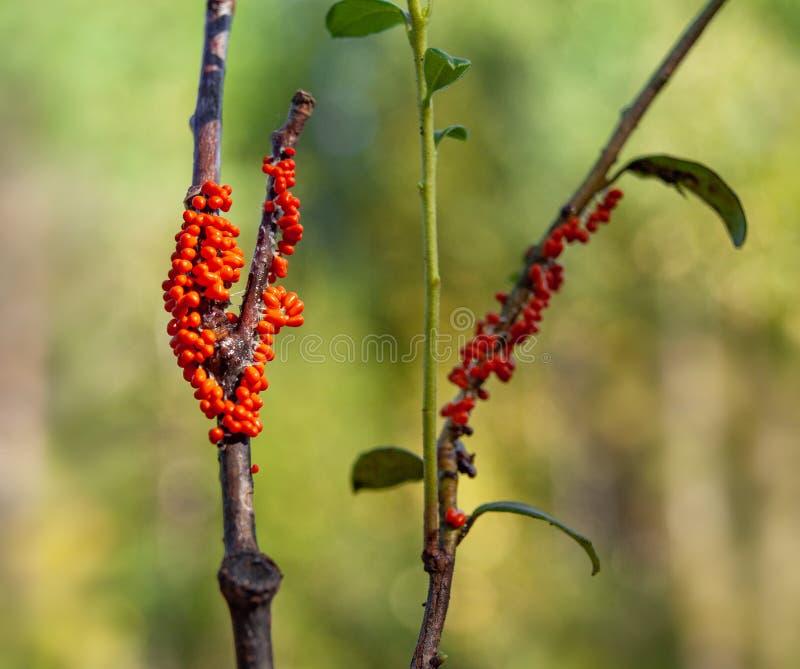 Orange Fruchtkörper von ein Schlamm muld Trichia-decipiens auf einer Niederlassung mit Blättern stockbilder