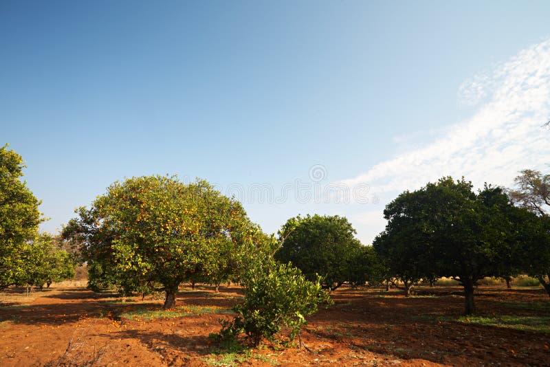 Orange Fruchtobstgarten lizenzfreies stockfoto
