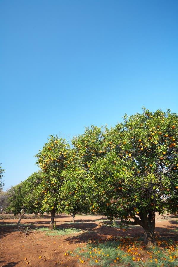 Orange Fruchtobstgarten stockbilder