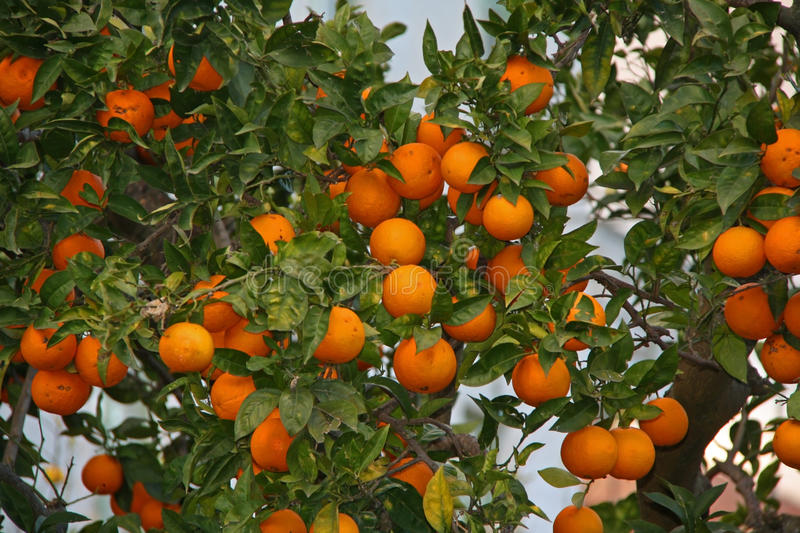Orange fruit on a tree. A fresh and healthy orange fruit on a tree royalty free stock photo