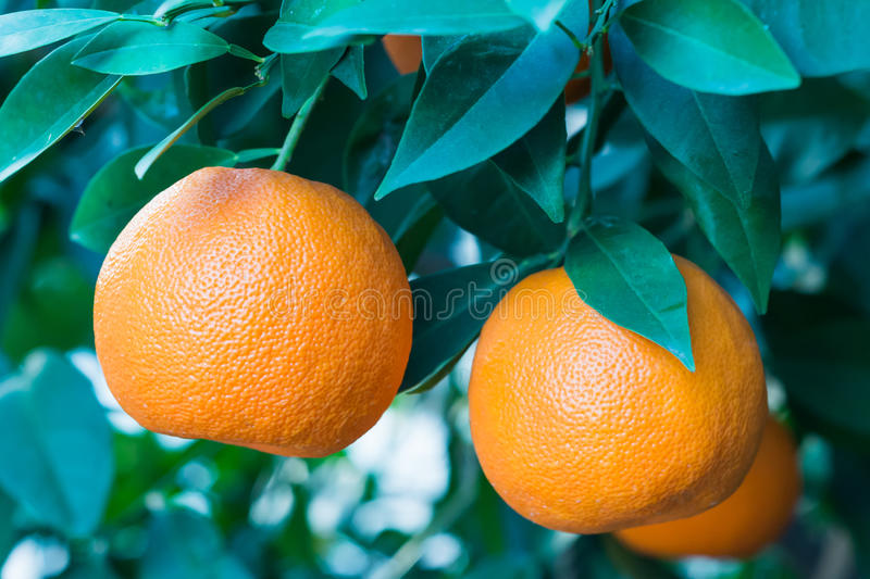 Orange fruit on a tree stock images