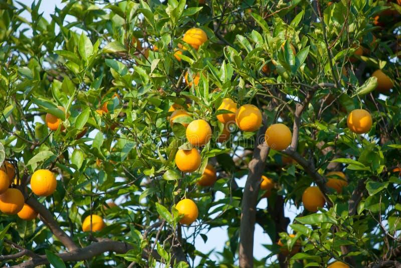 Download Orange Fruit Tree With Oranges Royalty Free Stock Image - Image: 28906796