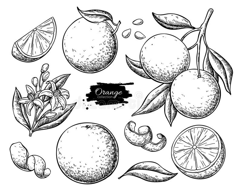 Orange fruit vector drawing set. Summer food engraved  illustration. royalty free illustration