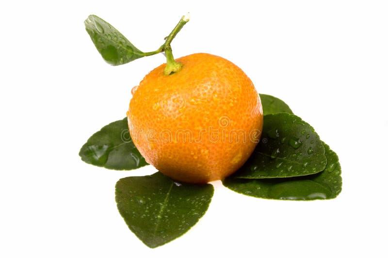 Orange fruits. calamondis. Sweet orange fruit on the white royalty free stock image