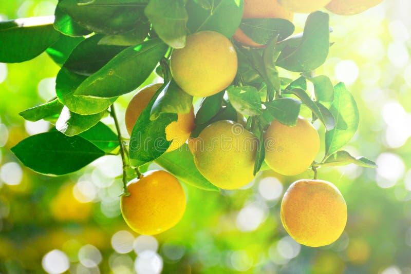 Orange frukt på tree royaltyfri foto