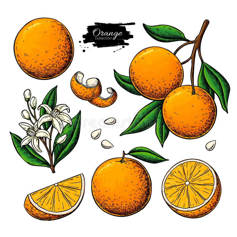 Orange fruktvektorteckning Sommarmatillustration royaltyfri illustrationer