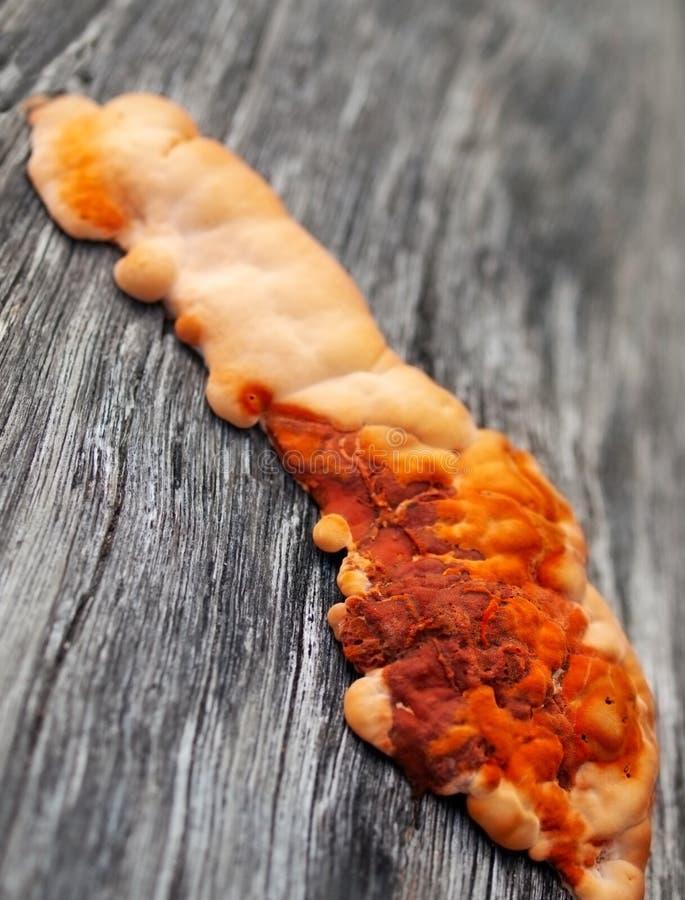 Orange fungus on wood. Orange colored fungus on wood stock photo