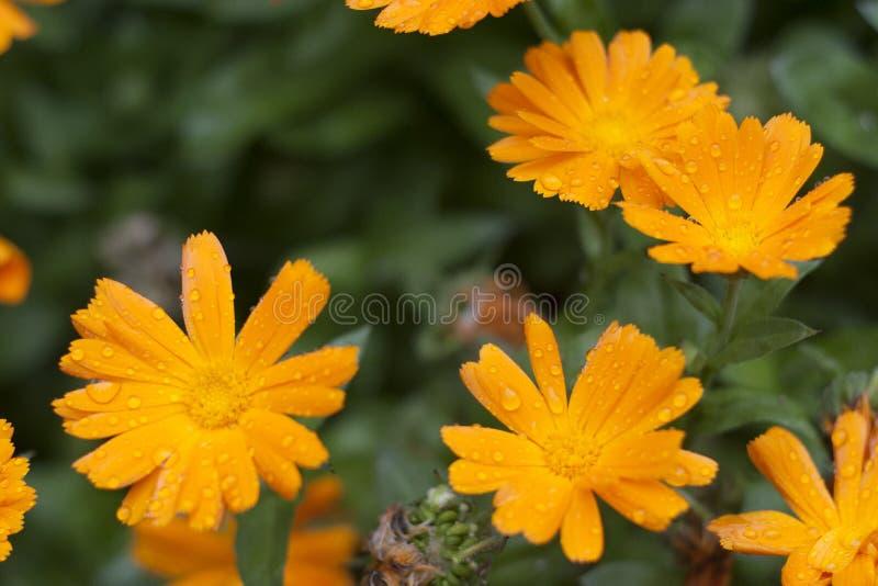 Orange Gänseblümchen lizenzfreie stockbilder